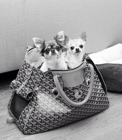 Dogs Hanging Out In A Goyard Dog Carrier Stylishdogs Cute Dog