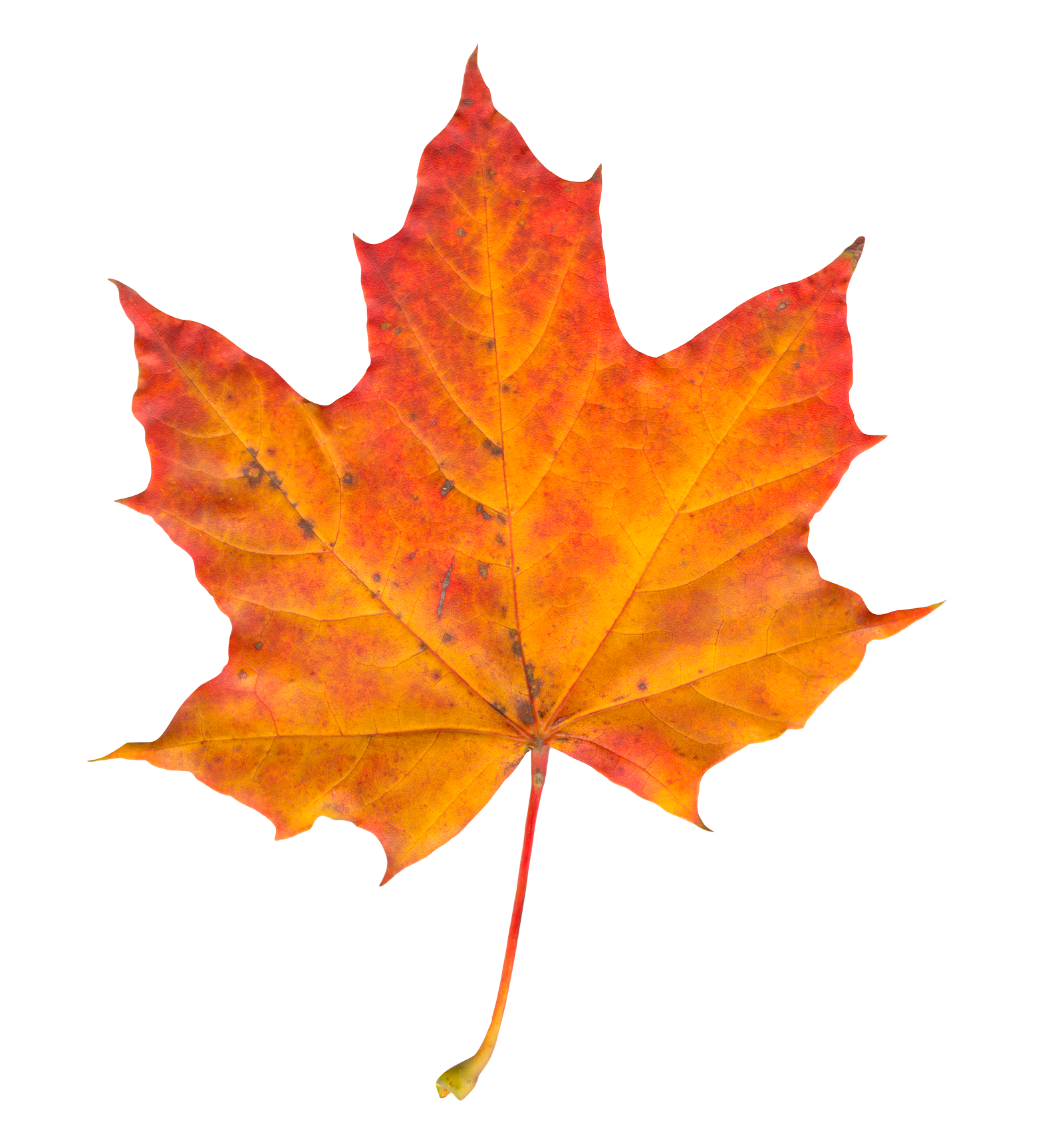 Autumn Leaf Png Image Autumn Leaves Leaves Watercolor Leaves