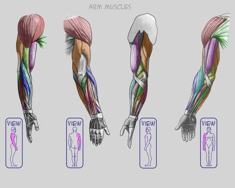 Arm muscles ✤ || CHARACTER DESIGN REFERENCES | キャラクターデザイン ...