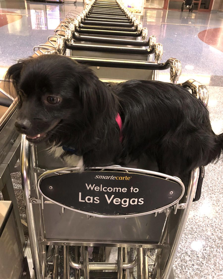 Las Vegas Pet Friendly Hotels Restaurants Things To Do Pet