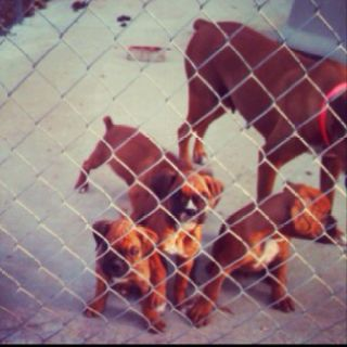 Boxer Puppies For Sale 375 Full Blooded Registered Akc 4 Males