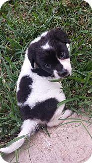 Denver, CO - Australian Shepherd Mix. Meet Spook, a puppy for adoption. http://www.adoptapet.com/pet/14200826-denver-colorado-australian-shepherd-mix