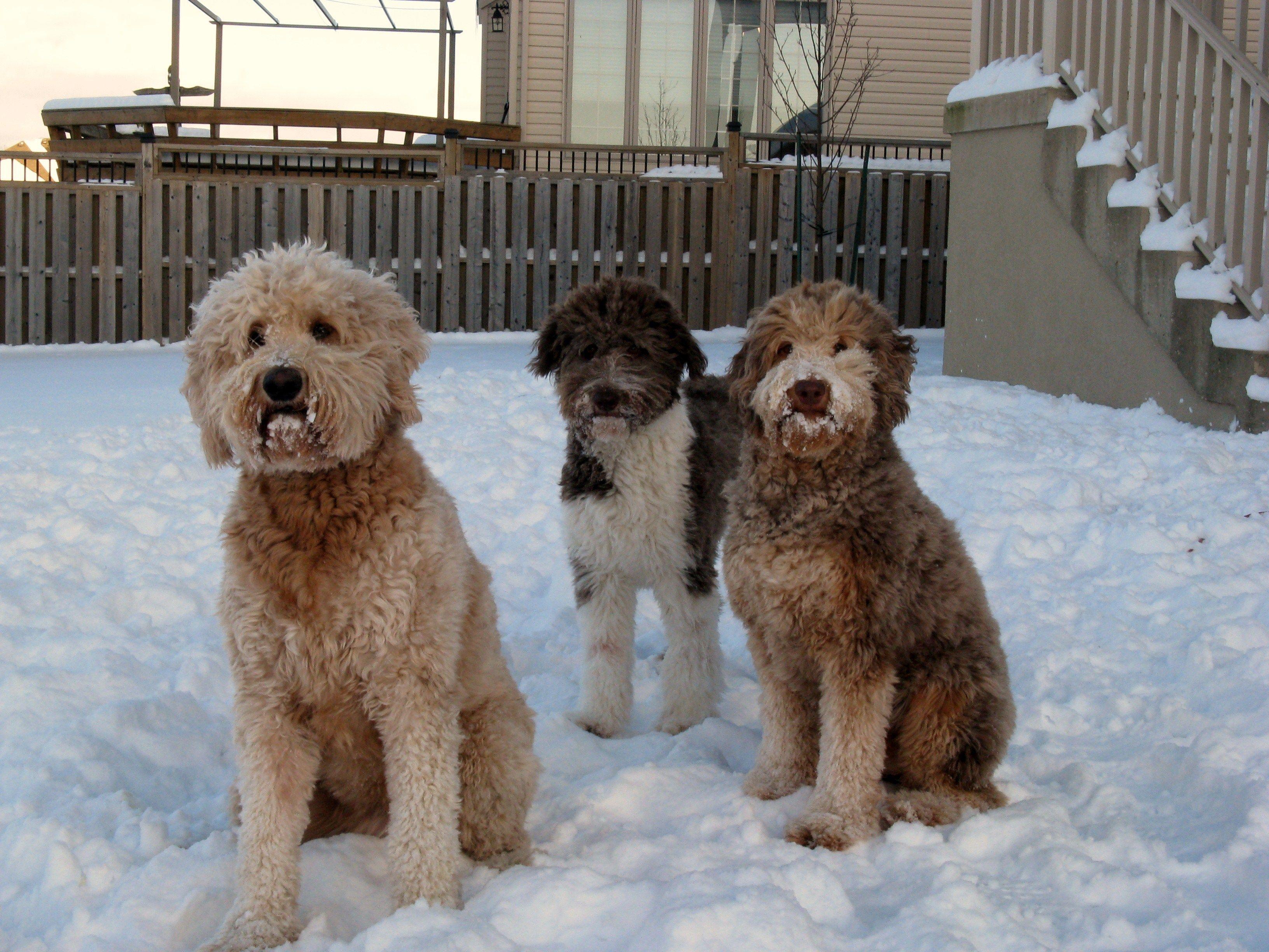 Aussiedoodle Aussiedoodle Australian Shepherd Poodle Mix