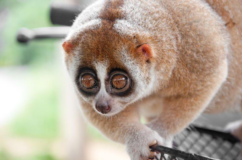 Slow loris monkey. A picture of a cute slow loris monkey ...