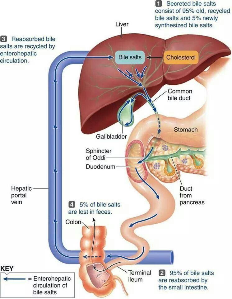 Hepatic Circulation | Anatomy & physiology | Pinterest