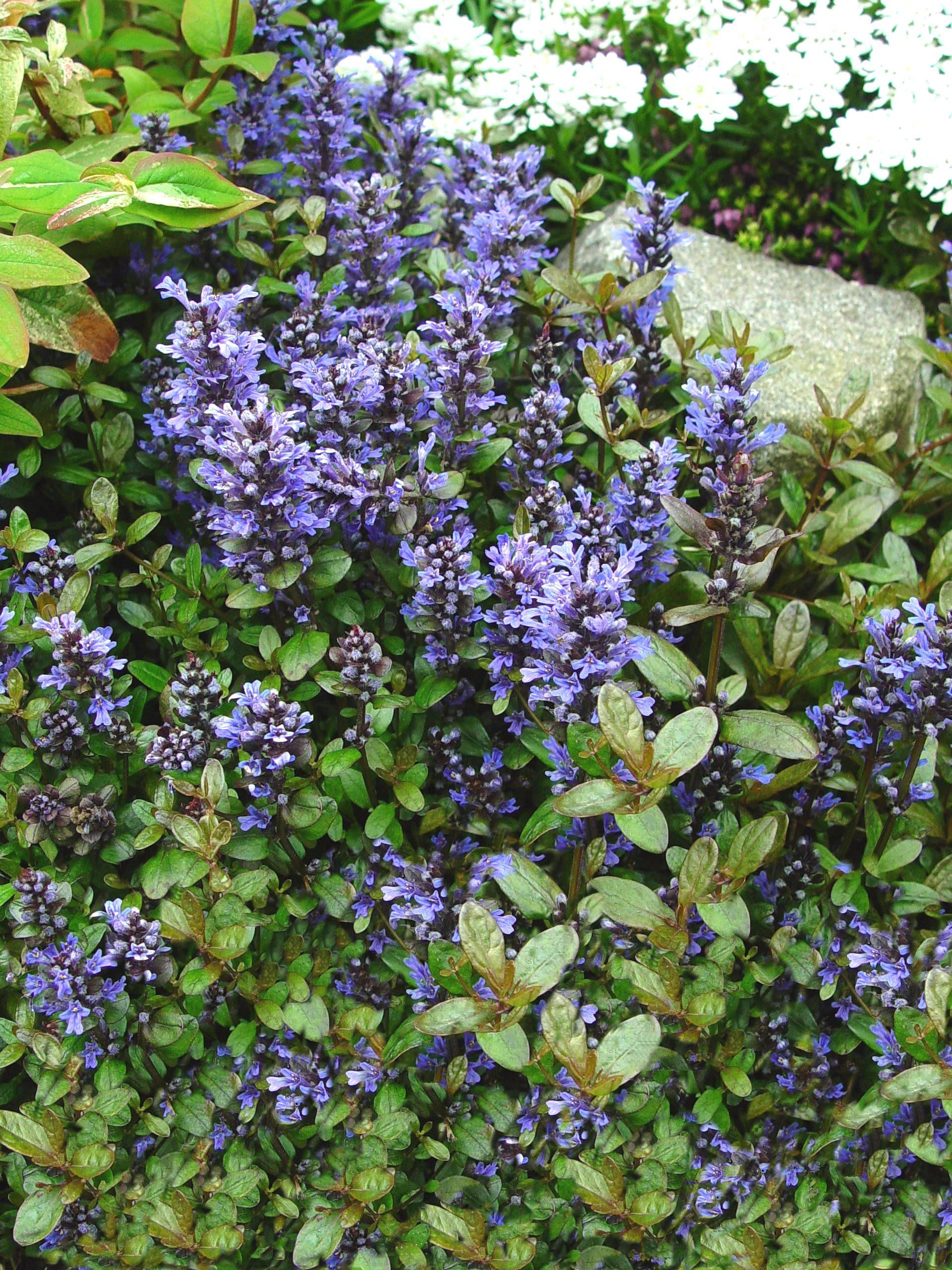 These Plants Like to Be Walked On   Dwarf, Gardens and Plants