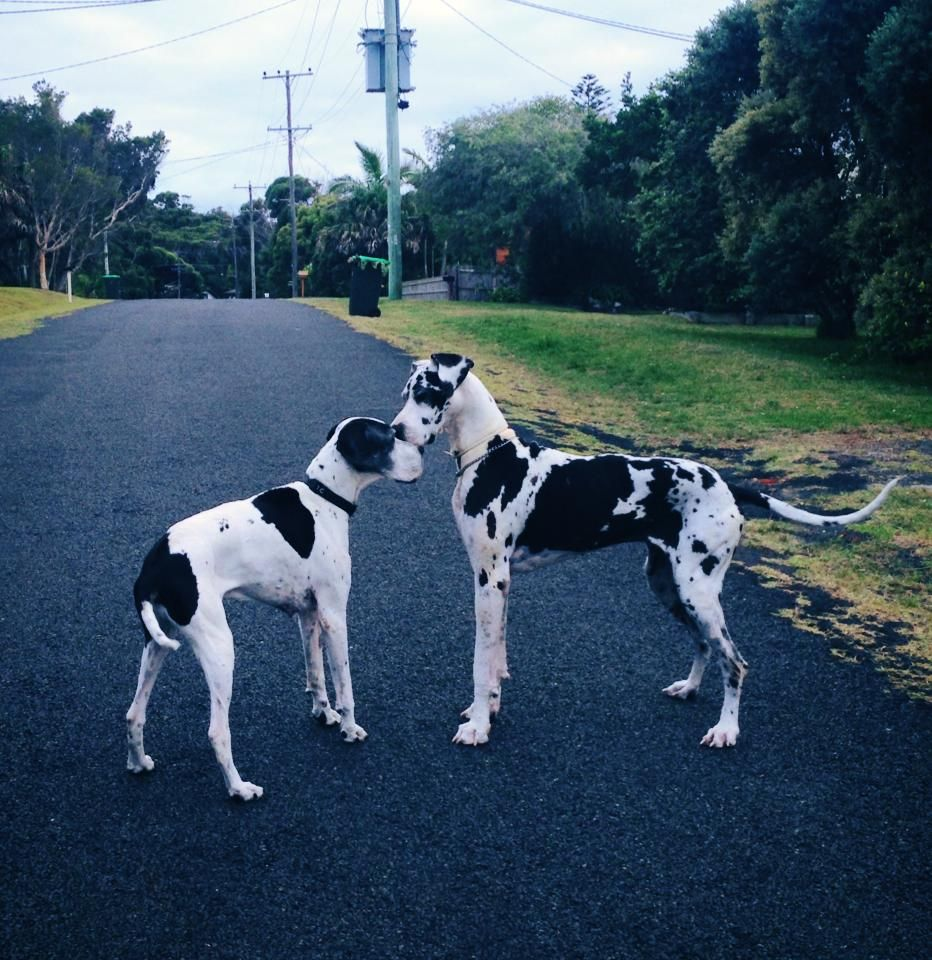 Aussie Pointer Angus Meets Harlequin Great Dane Dane Dog Great