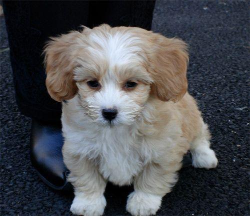 Shih Poo Shih Poo Shih Tzu Poodle Puppies