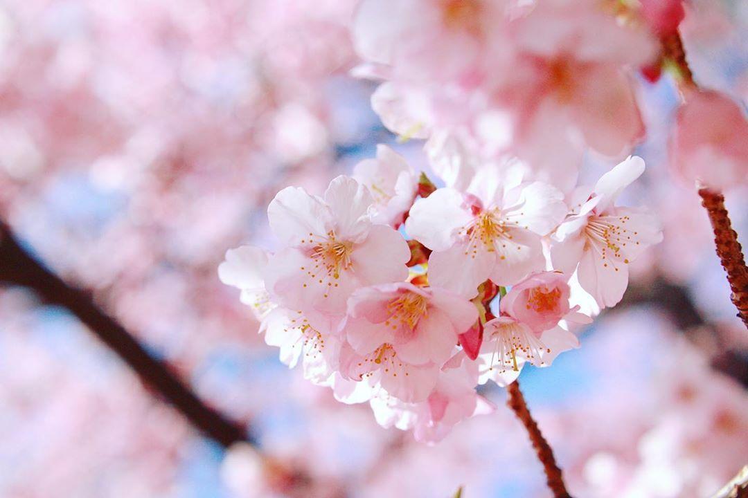 寒桜、散り始め。 2020.2.19 #tokyo #shinjuku #shinjukugyoen #cherryblossom #東京 #新宿 #新宿御苑 #桜 #寒桜  #花 #ザ花部 #はなまっぷ #はなまっぷ2020 #flowers #flowerstagram #flowerslovers #flowerpic #flowerphotography  #ファインダー越しの私の世界 #カメラ初心者 #カメラ練習中 #東京カメラ部 #写真好きな人と繋がりたい #カメラ好きな人と繋がりたい #カメラ女子