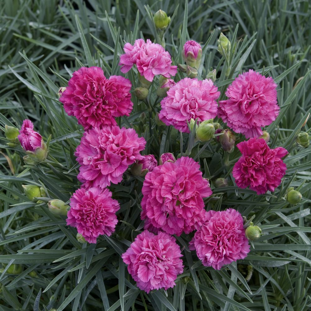 Dianthus Plumarius Devon Wizard Garden Flower Beds Flower Garden Flowers