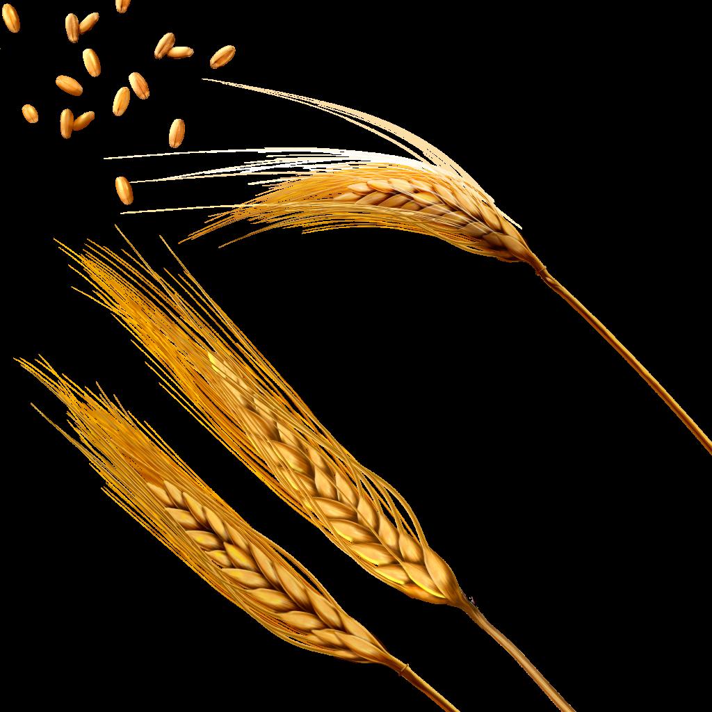 Картинки колосья пшеницы и ржи для детей