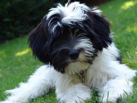Tibetan Terrier Puppy Hunde Hunde Rassen Hunde Welpen