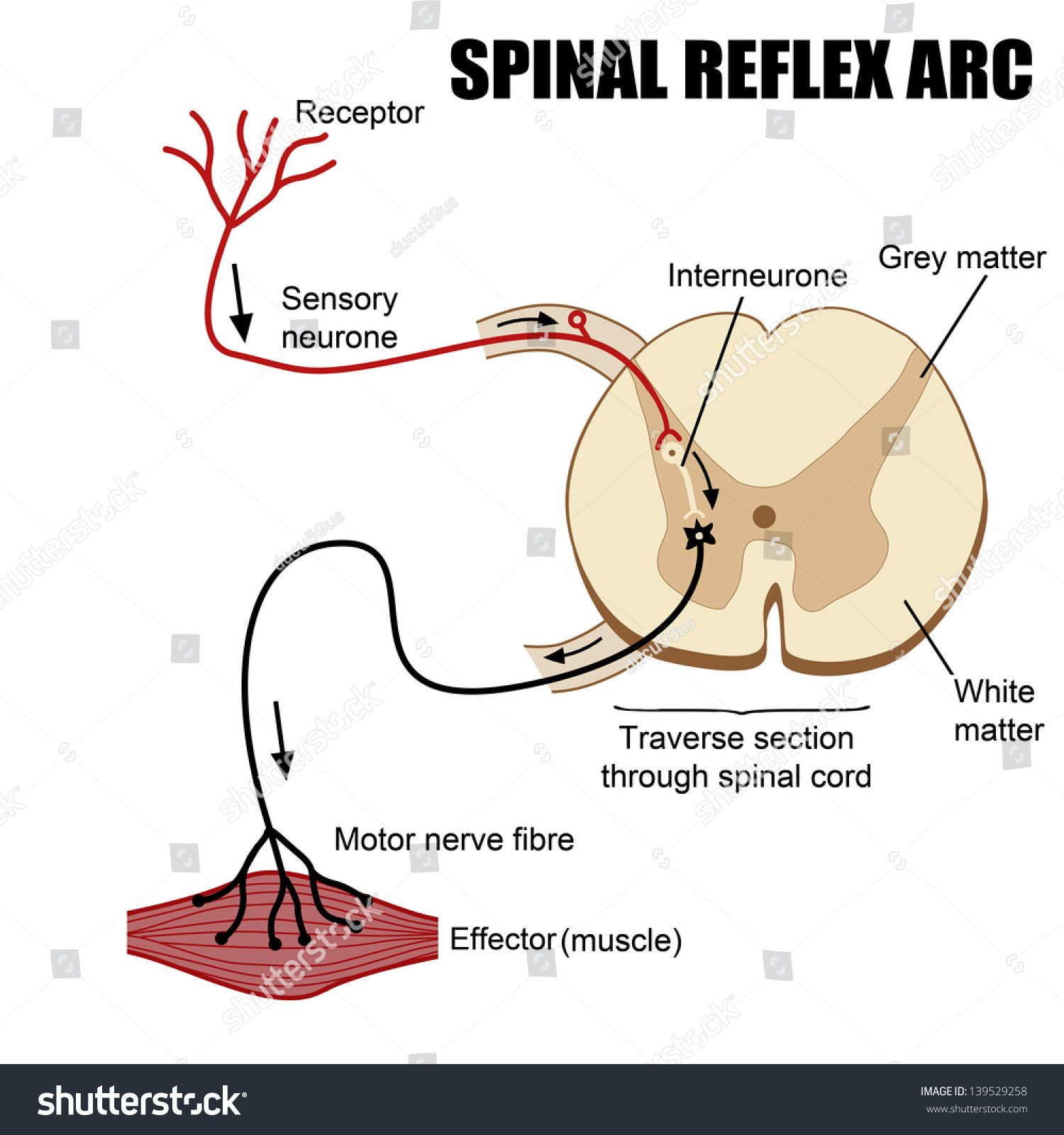 Spinal reflex arc neuroscience central nervous system cns spinal reflex arc ccuart Image collections