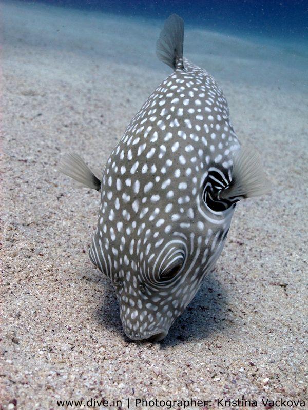whitespotted puffer fish arothron hispidus ocean life fish