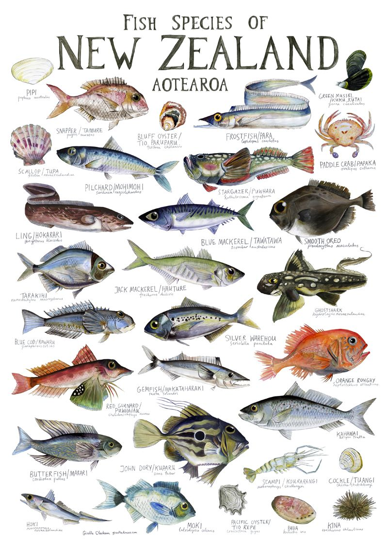 Illustrated fish chart fish chart food painting and for New zealand fish