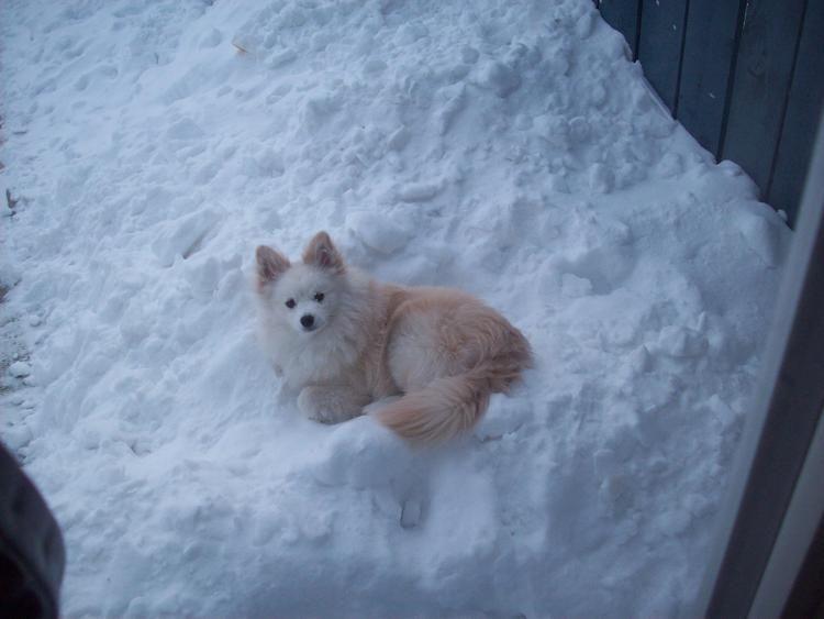 American Eskimo Dog Pomeranian Puppy