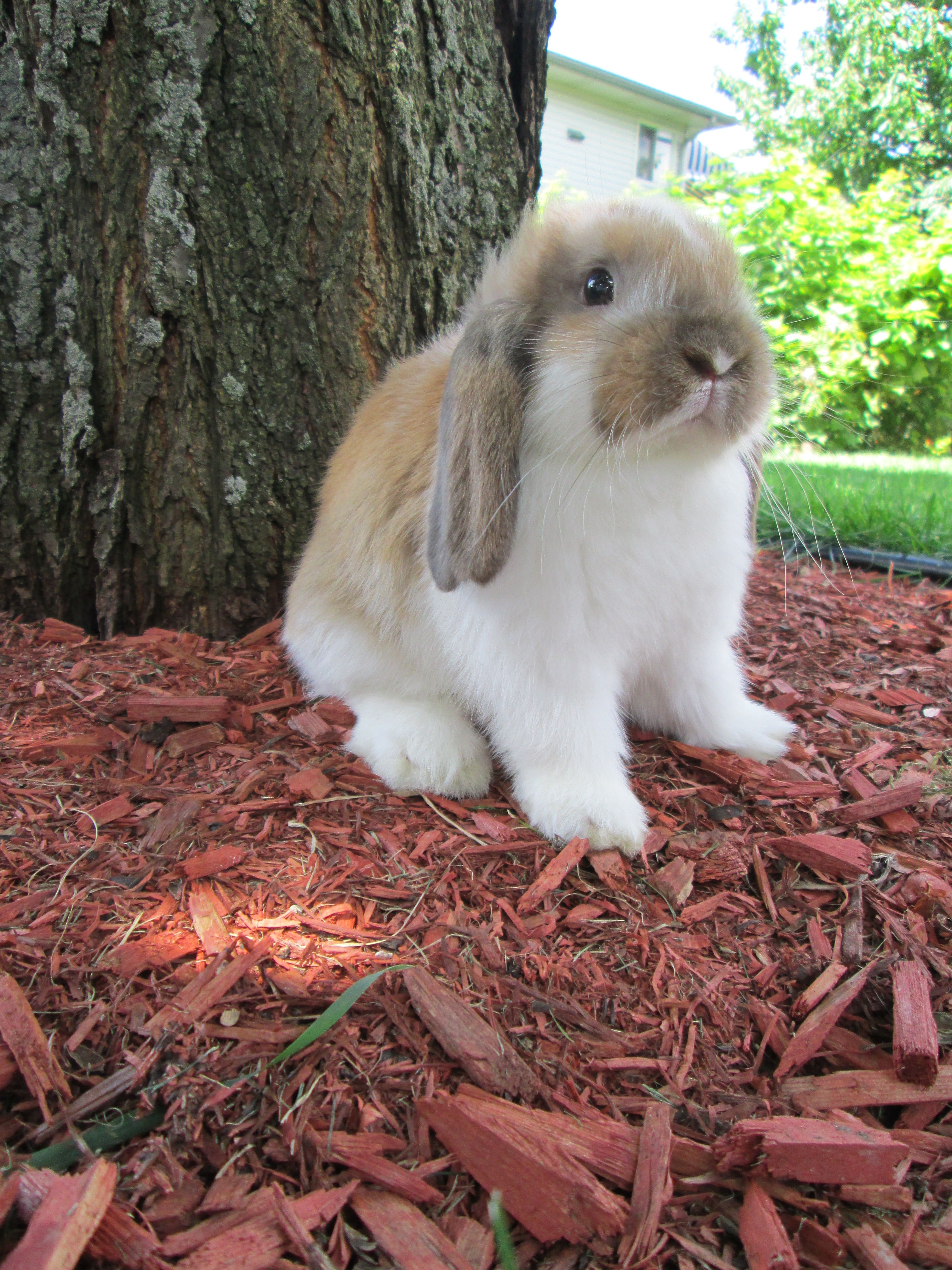 I Have Fallen In Love With A Lop Bunny Named Flip Floppsy She