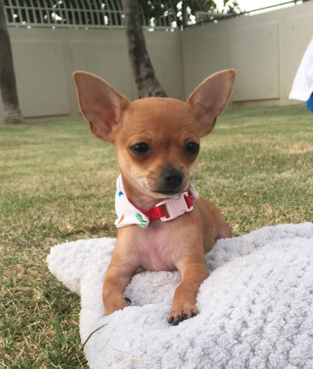Teacup Brown Chihuahua Enjoying A Sunny Day Cutest Puppy Ever