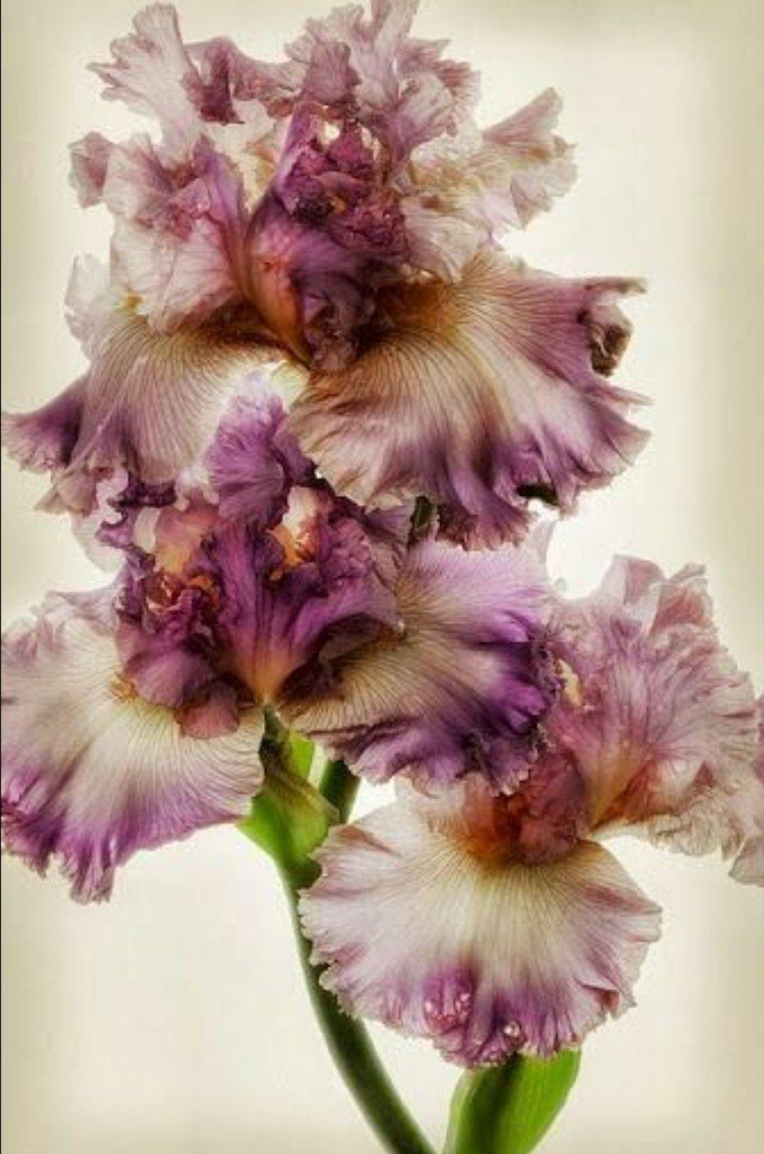 Frilly Iris Iris Flowers Pinterest Iris Flowers And Gardens
