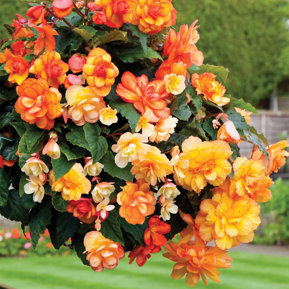 Apricot Pit Apartments: Begonia X Tuberhybrida 'Apricot Shades Improved' F1 Hybrid