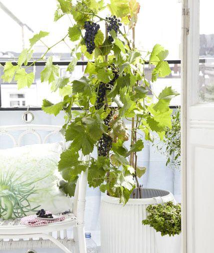 Auch in kälteren Gebieten wachsen Weinreben wie Vitis 'Regent' in Töpfen.