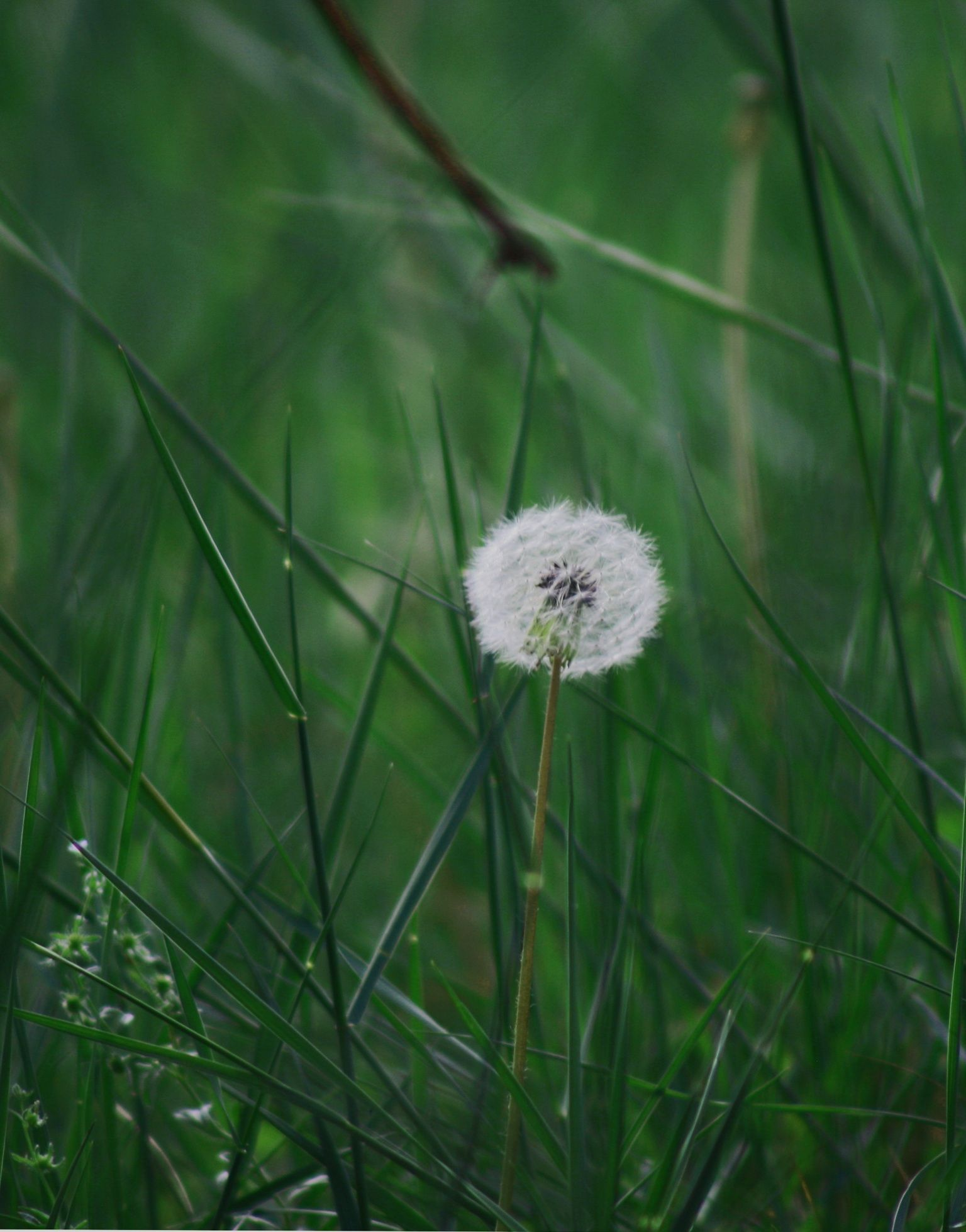Dandilion Pusteblume Blumen