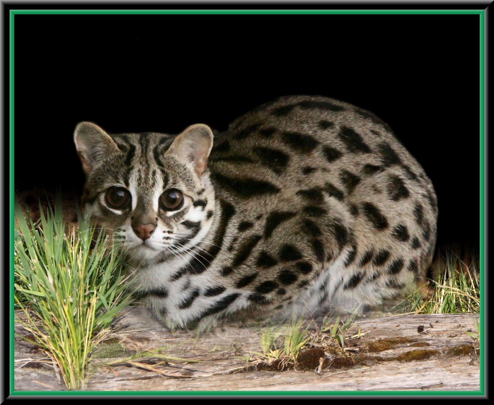 Asian Leopard Cat Asian Leopard Cat Bengal Cat Small Wild Cats