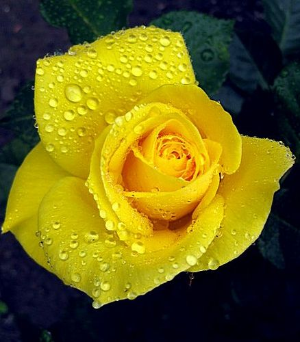 Yellow Roses Yellow Rose Meaning Yellow Roses Rose