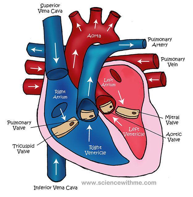 simple heart diagram for kids to label | Nursing school ...