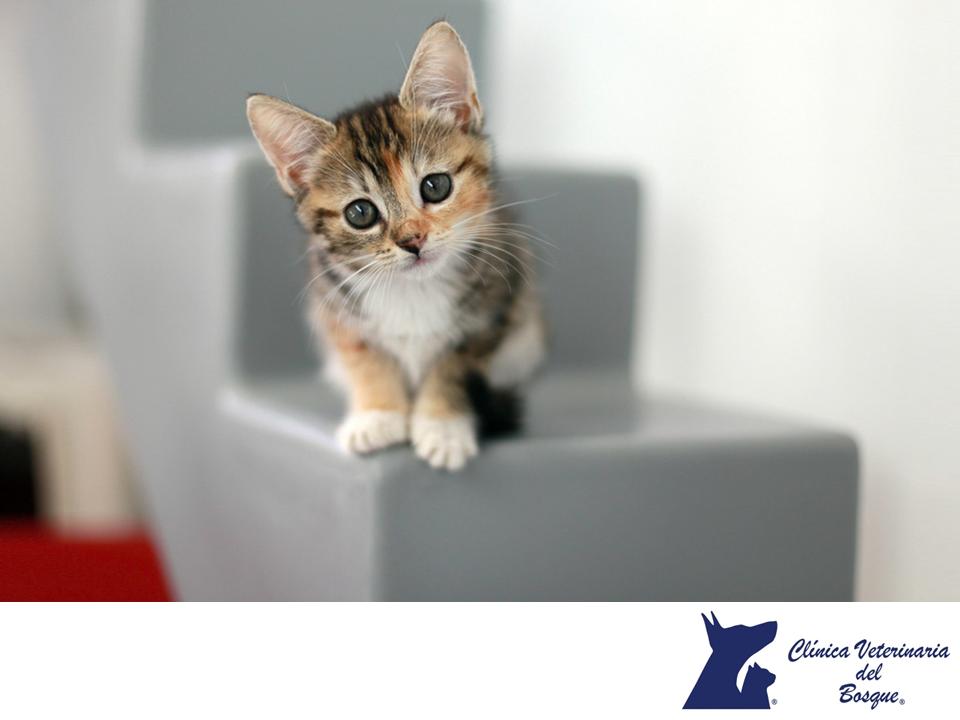 Los gatos pueden ser muy sensibles. CLÍNICA VETERINARIA DEL BOSQUE. Los felinos son especialmente sensibles, pueden sufrir enfermedades como pancreatitis o trastornos en las vías urinarias bajas debido a una situación estresante. Cualquier alteración en su ambiente o la introducción en casa de una nueva mascota debe ser gradual.  En Clínica Veterinaria del Bosque te invitamos a comunicarte con nosotros al 5360 3311, para  brindarle atención integral a tu mascota. #cuidadodemascotas