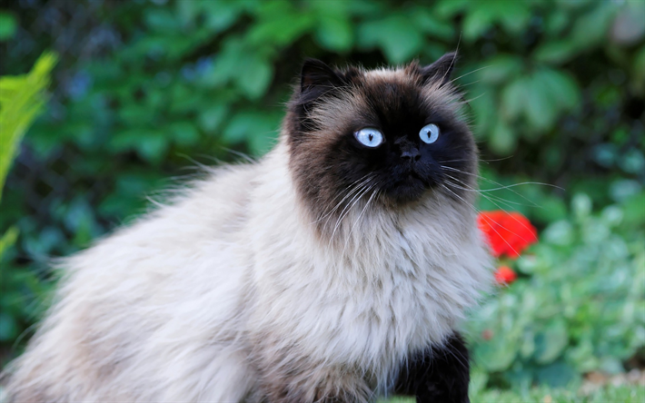 Download Wallpapers Birman Domestic Cat Breed Beige Fluffy Cat Pets Cute Animals Cats Besthqwallpapers Com Races De Chats Animaux Animales