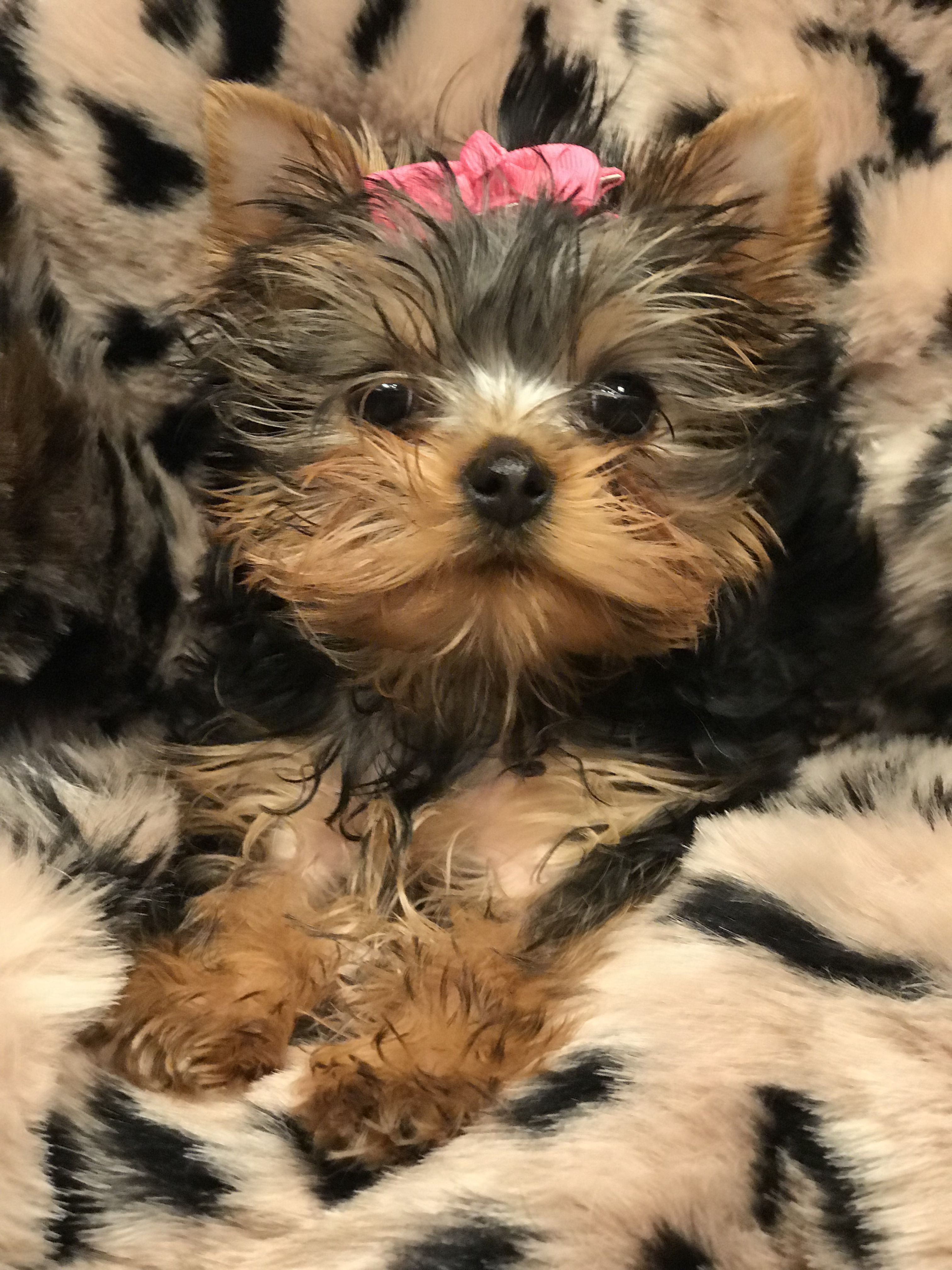 Radford Yorkshire Terriers 5409861604 Yorkshire