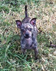 Clark Is An Adoptable Chihuahua Dog In Sarasota Florida Clark