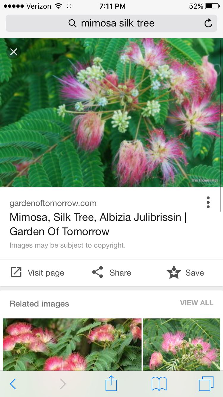 Persian Silk Treemimosa Tree Plants Trees Flowers Pinterest