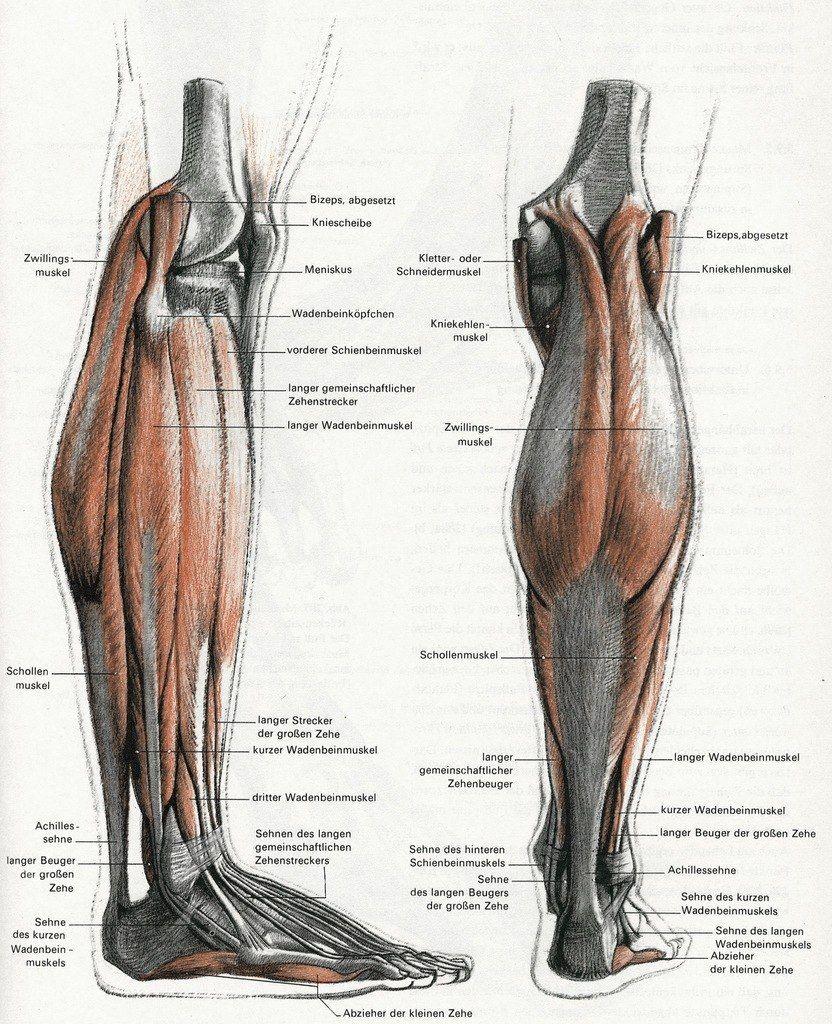 leg anatomy | Анатомия | Pinterest