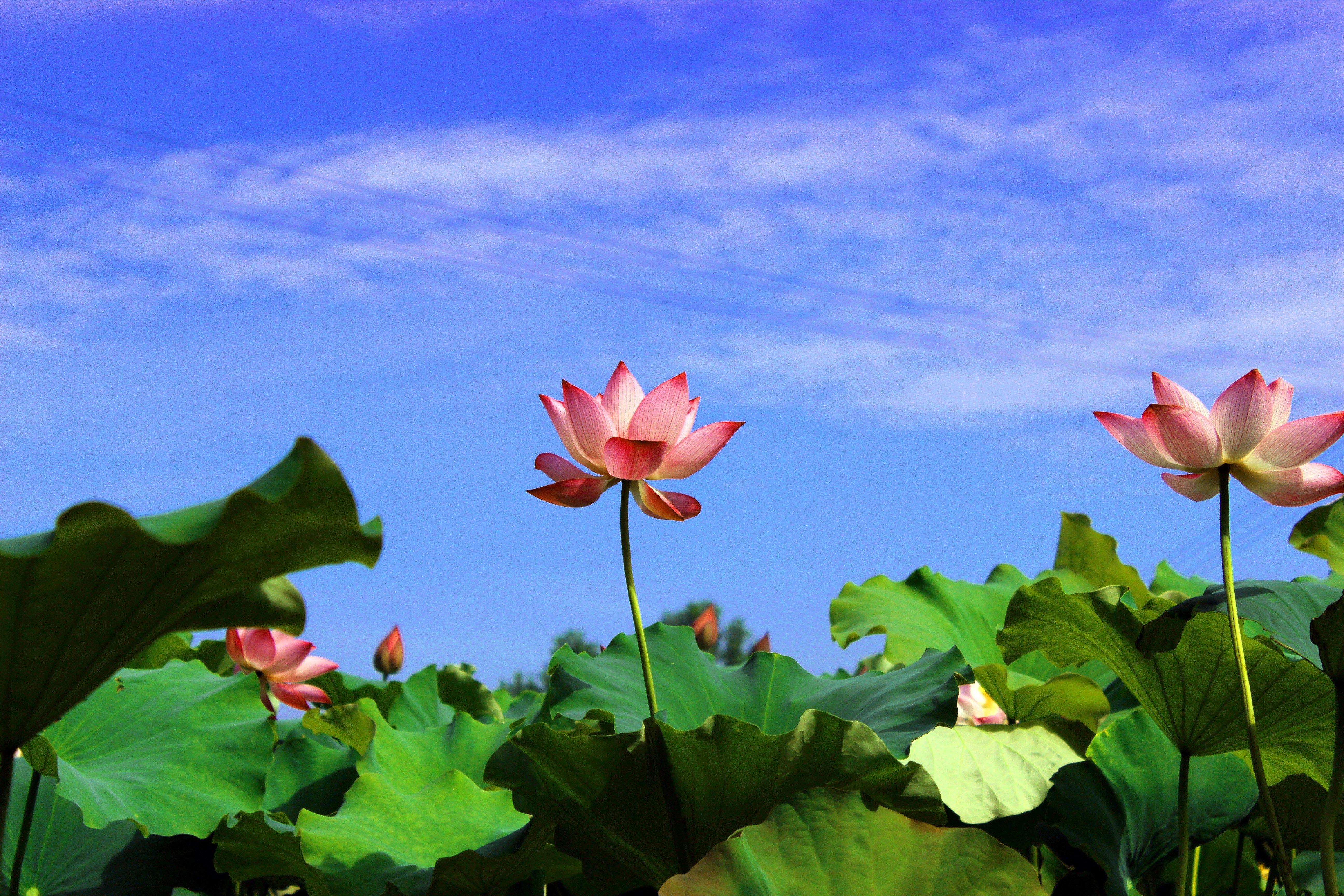 Hd lotus flower wallpapers ololoshka pinterest lotus flower hd lotus flower wallpapers mightylinksfo
