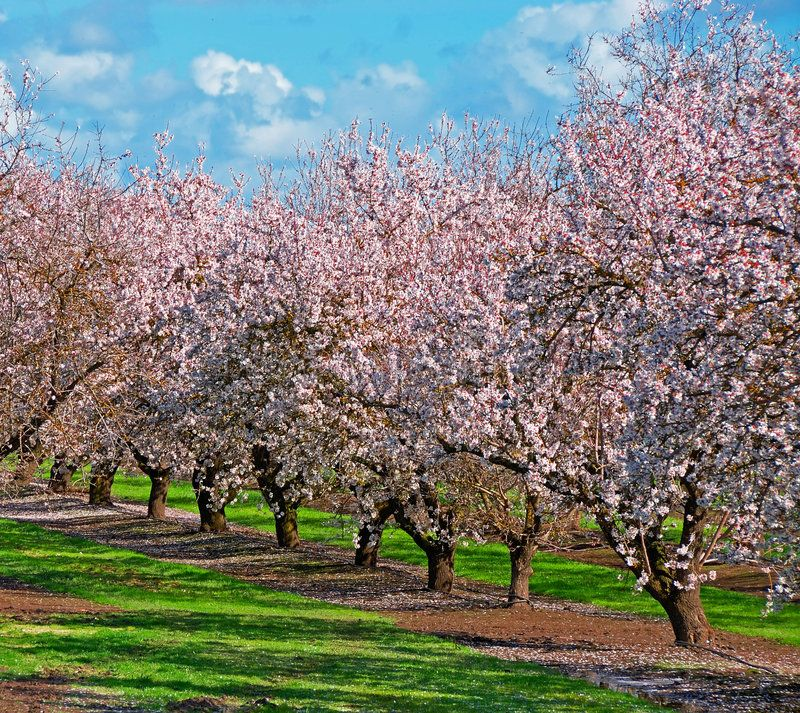 Fruit Tree Orchard Fruit Trees In Full Bloom Loaded With Flowers In The Spring Sponsored Orchard Trees Fruit Tree Full Fruit Trees Tree Orchard