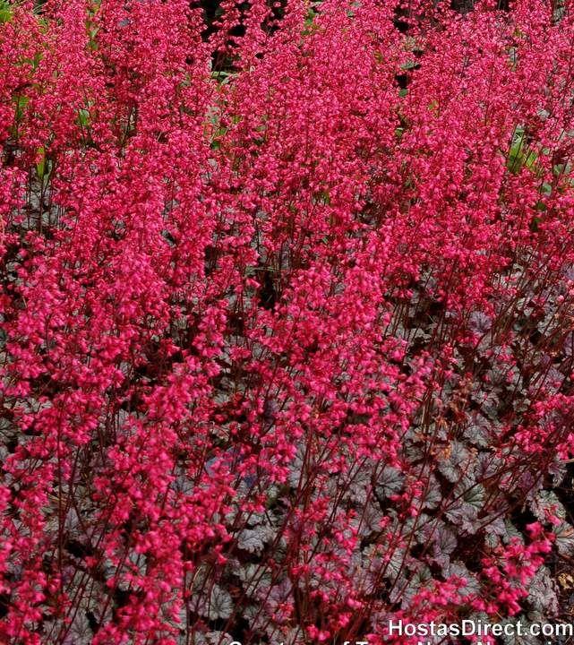Tuesday S Plant Of The Day Heuchera Rave On Http Ss1 Us A I1skr4bh Heuchera Perennials Shade Perennials