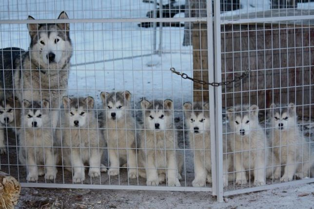 Sled Dog Puppies And Mom Dogs Puppies Cute Puppy Pictures