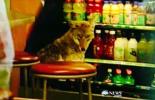 Coyote cooling off in a food cooler in a Chicago fast food restaurant!
