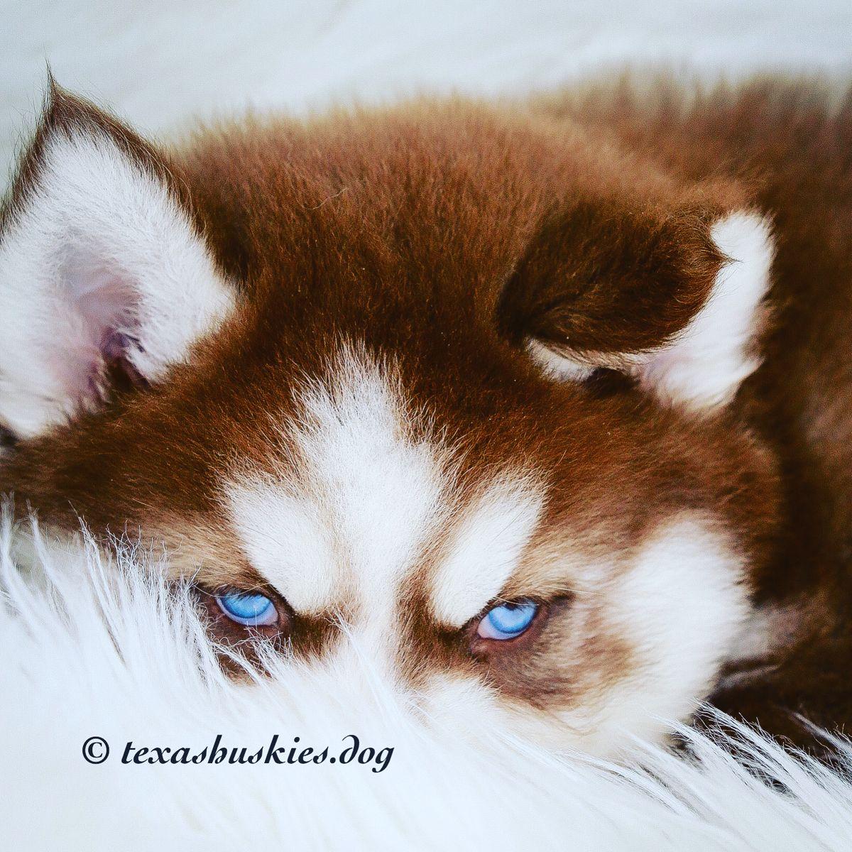 Siberian Husky Puppy Texasblueyedhuskies In 2020 Siberian Husky Siberian Husky Breeders Siberian Husky Puppy