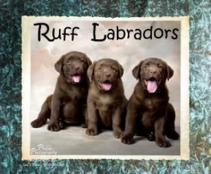 Chocolate Labrador Puppies For Sale In California Ruff Labradors Labrador Puppies For Sale Black Labrador Puppy Labrador Puppy