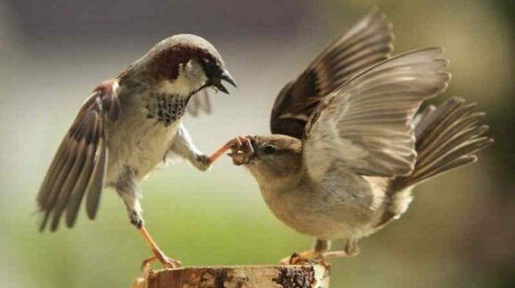 Download Suara Burung Gereja Tarung Untuk Masteran By Wikicau Funny Pictures With Captions Funny Bones Funny