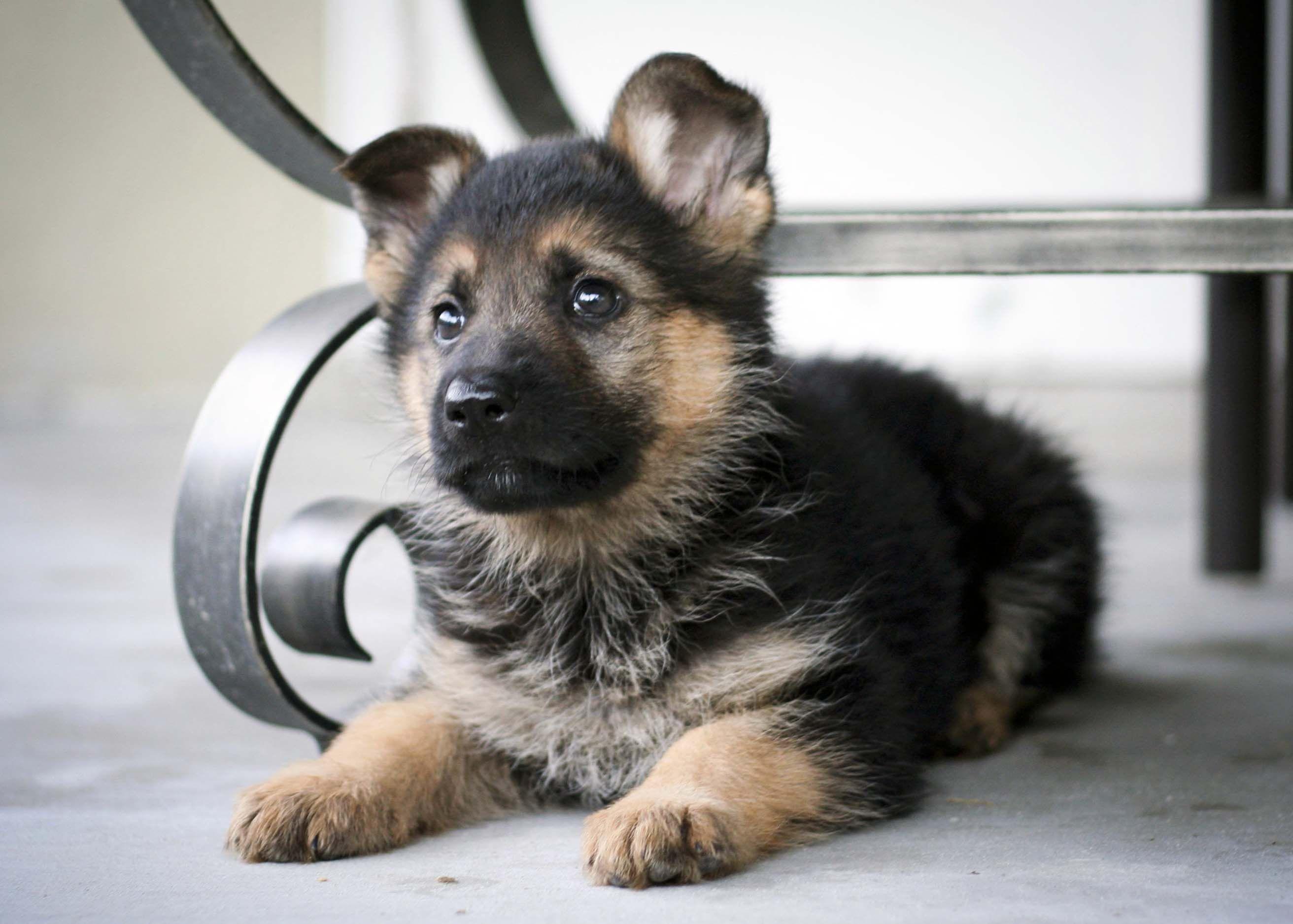7 Facts About The German Shepherd German Shepherd Puppies