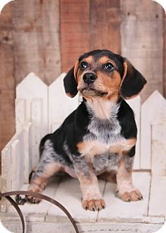Hagerstown Md Dachshund Beagle Mix Meet Dallas A Dog For