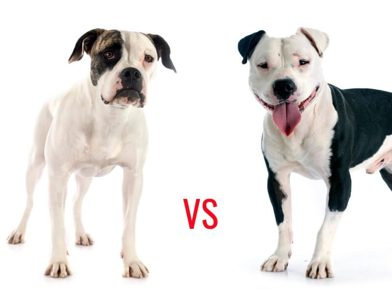 American Bulldog Vs Pitbull An Encounter That Clarified The