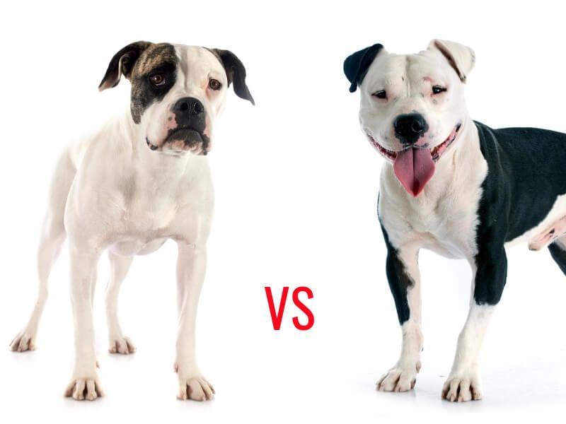 American Bulldog Vs Pitbull An Encounter That Clarified The