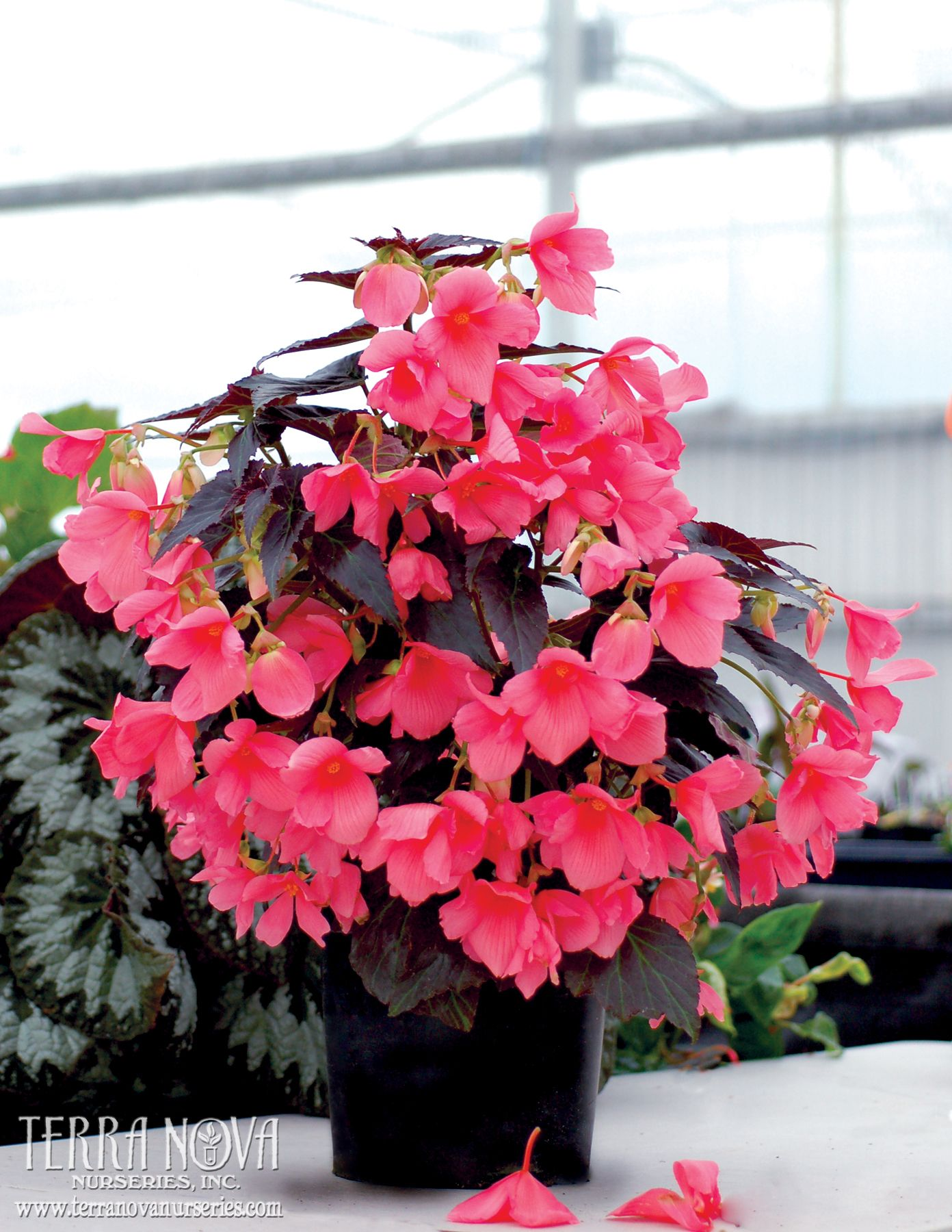 Begonia Cocoa Enchanted Evening Large Single Shrimp Pink Flowers Resemble Hibiscus Blossoms They Appear In Cluster Begonia Blooming Plants House Plants