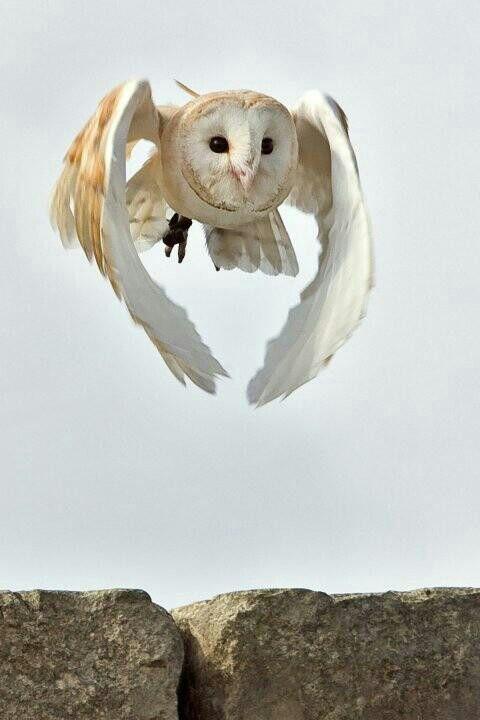 白いフクロウが飛ぶ壁紙
