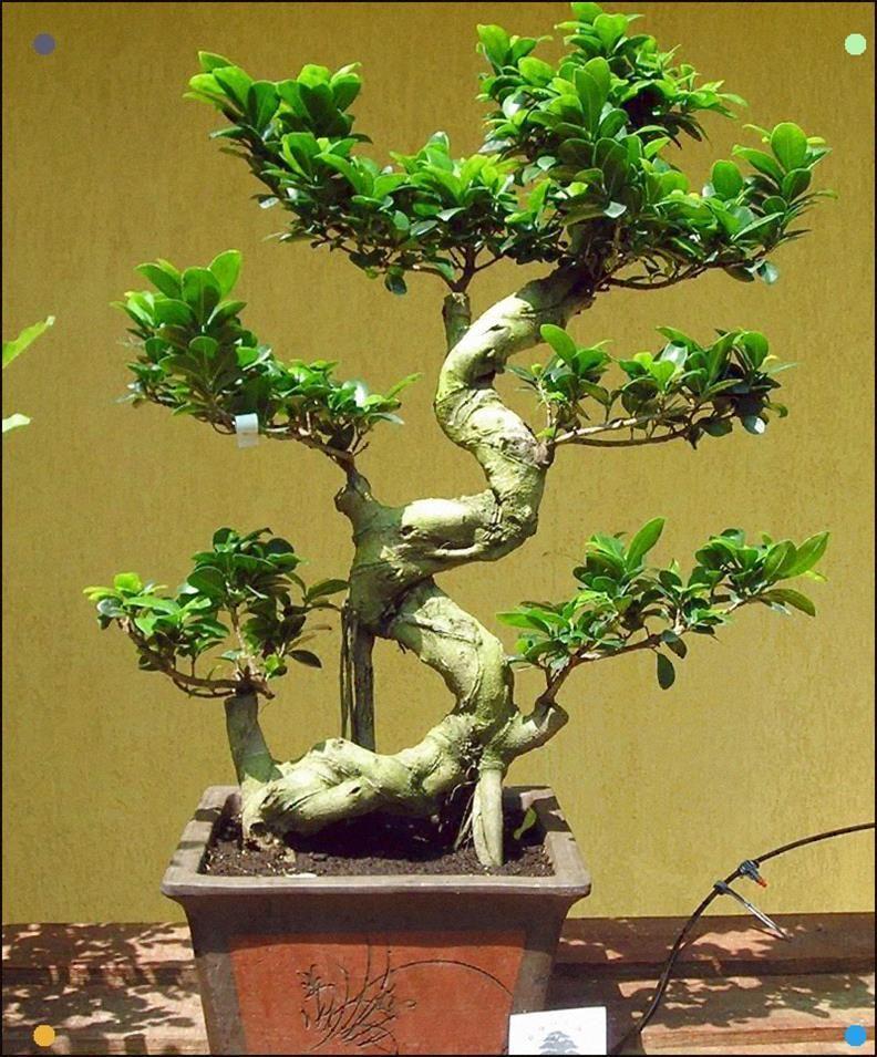 #bonsai #ficus #ginseng